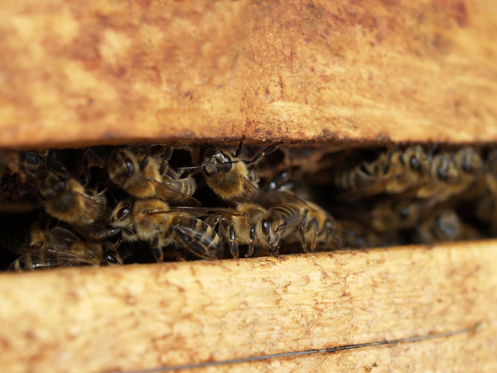 巣箱の横向きの隙間の蜜蜂