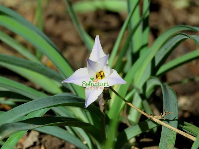 Ipheion uniflorum  Estrellita
