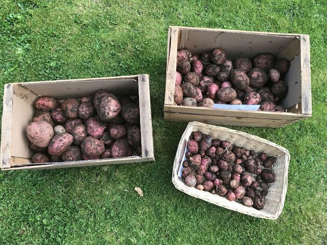 frisch geerntete Kartoffeln (c) by Joachim Wenk