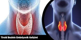 Tiroid Bezinin Embriyonik Gelişimi