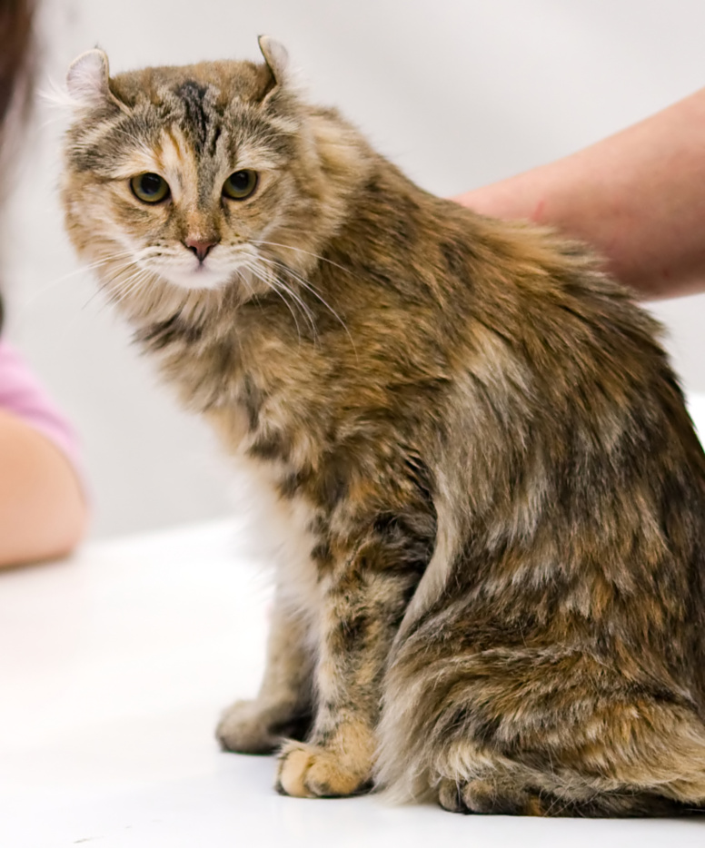 Curled Ear Cat Breed