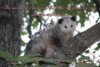 The sweetest creatures that the world does not always appreciate Opossums offer the world endless benefits, despite the hardships