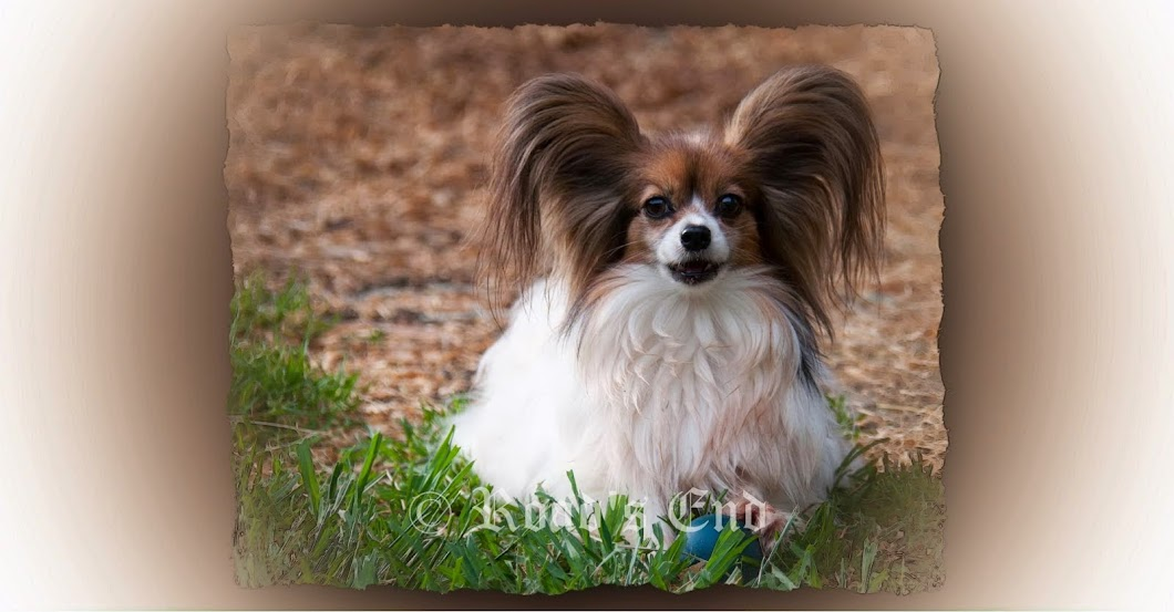 road 39 s end papillons ear fringing on russian toy prague ratter papillon long hair chihuahua. Black Bedroom Furniture Sets. Home Design Ideas