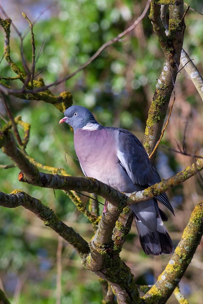 Colourful looking Wood Pigeon - Lodge Lake, Milton Keynes