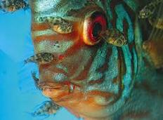 Profil Ikan Hias Diskus budidaya ikan hias air tawar