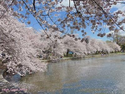 Cherry blossoms peak in Washington DC 2016