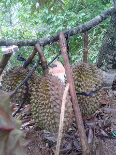 Cara Merangsang Pembuahan pada Durian