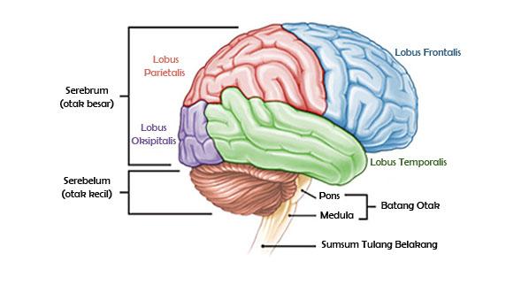 Mengenal 9 Bagian Bagian Otak dan Fungsinya + Gambar Ilustrasi