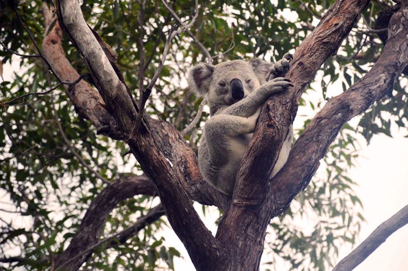 wild koala on magentic island