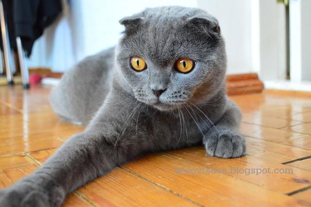Британский кот, вислоухий Британский кот