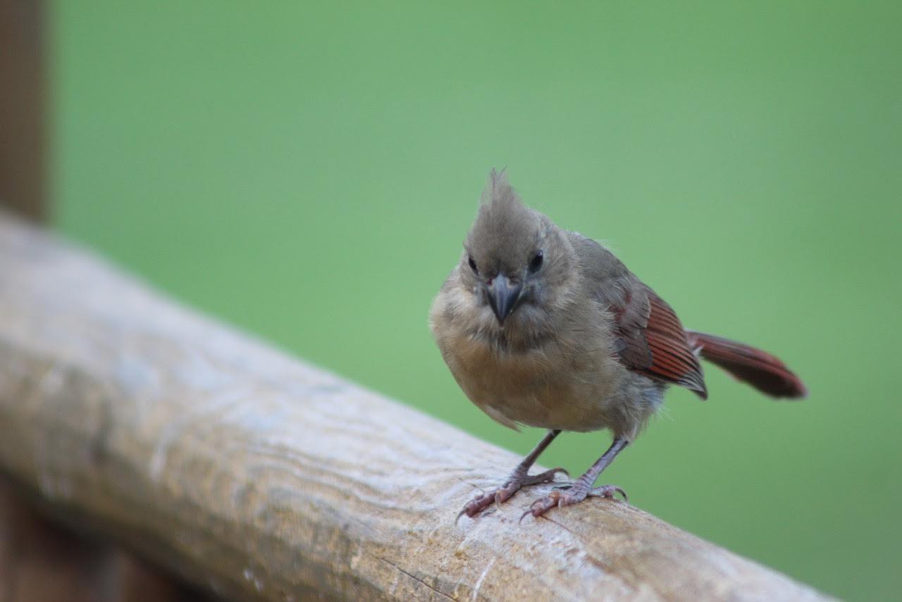 Wild Birds Unlimited: Baby Cowbird Vs. Cardinal