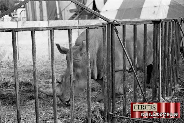 Le rhinocéros Zeila au zoo du Cirque National Suisse Knie  1970