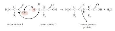 Pembentukan Ikatan Peptida