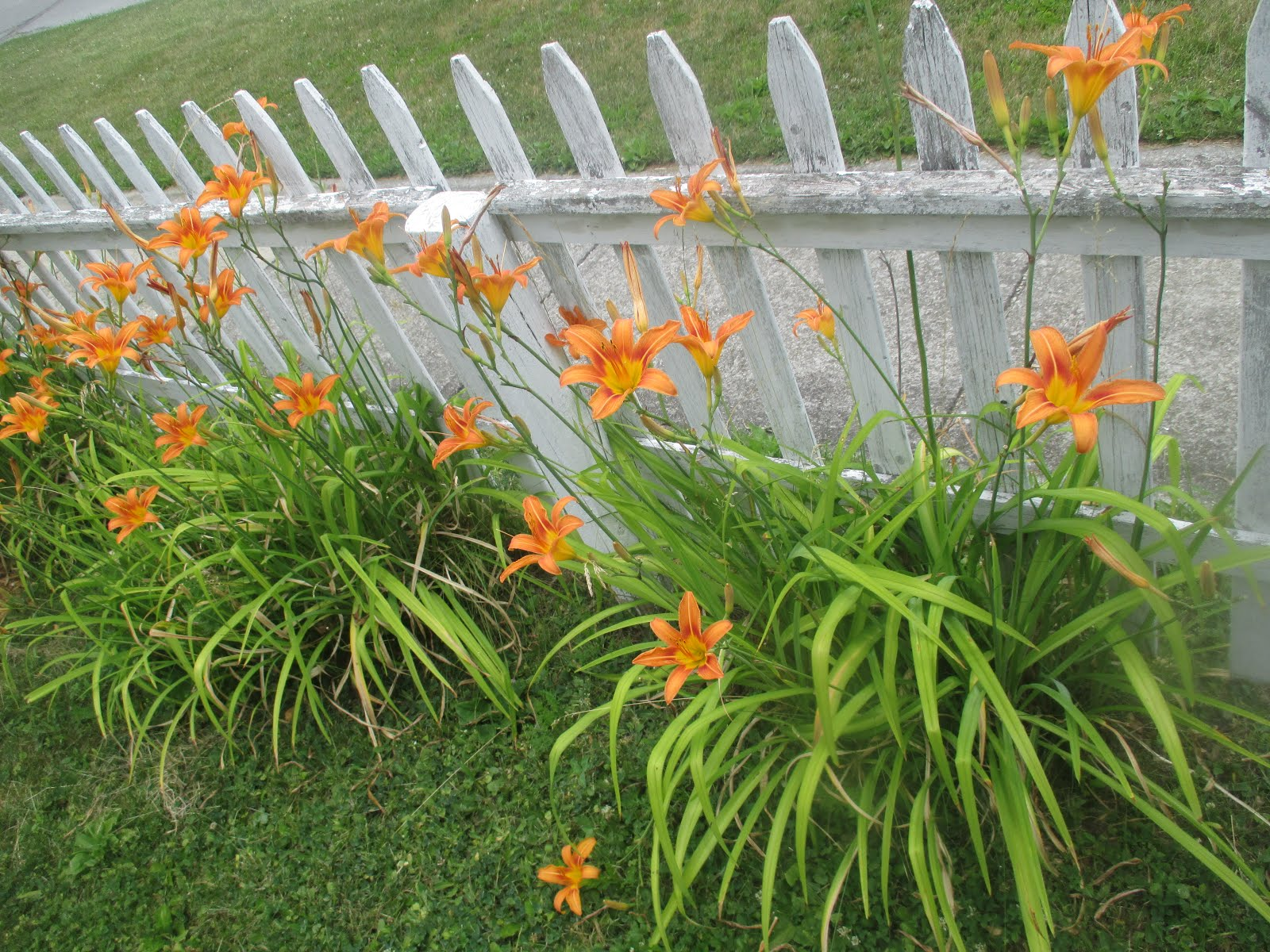day lilies along my picket fence