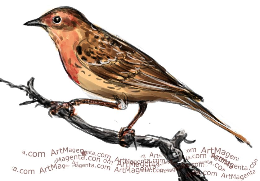 Red-throated Pipit  sketch painting. Bird art drawing by illustrator Artmagenta