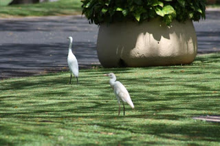 Egrets we've had a few.