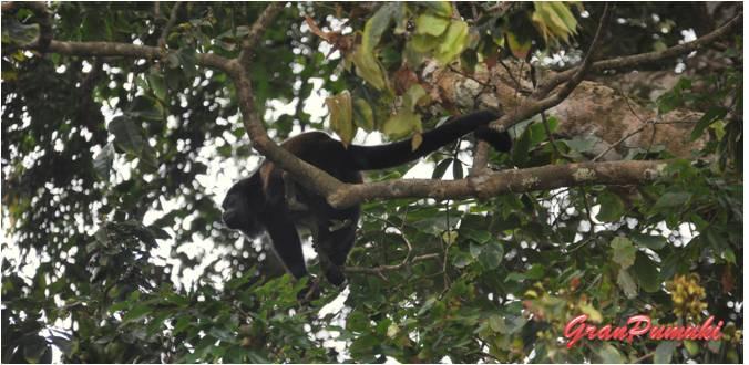 Blog de Viajes: Resumen Viajero 2014. Mono aullador en Parque Nacional Manuel Antonio. Costa Rica
