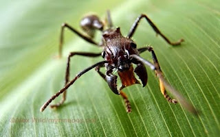 Sengatan Semut Peluru Paling Menyakitkan