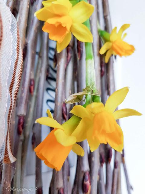 krookukset krookus kevätsahrami kevätkukkijat kevät kukkapenkki sipulikukka aronia risukimppu