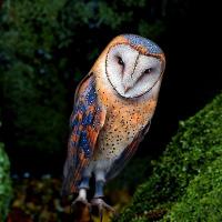 Wowescape Masked Owl Isla…