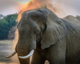 'Smoking' elephant in India perplexes specialists
