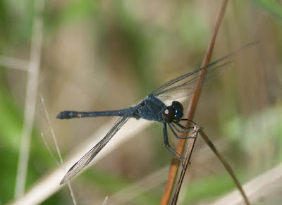 Seaside Dragonlet (Erythrodiplax berenice)