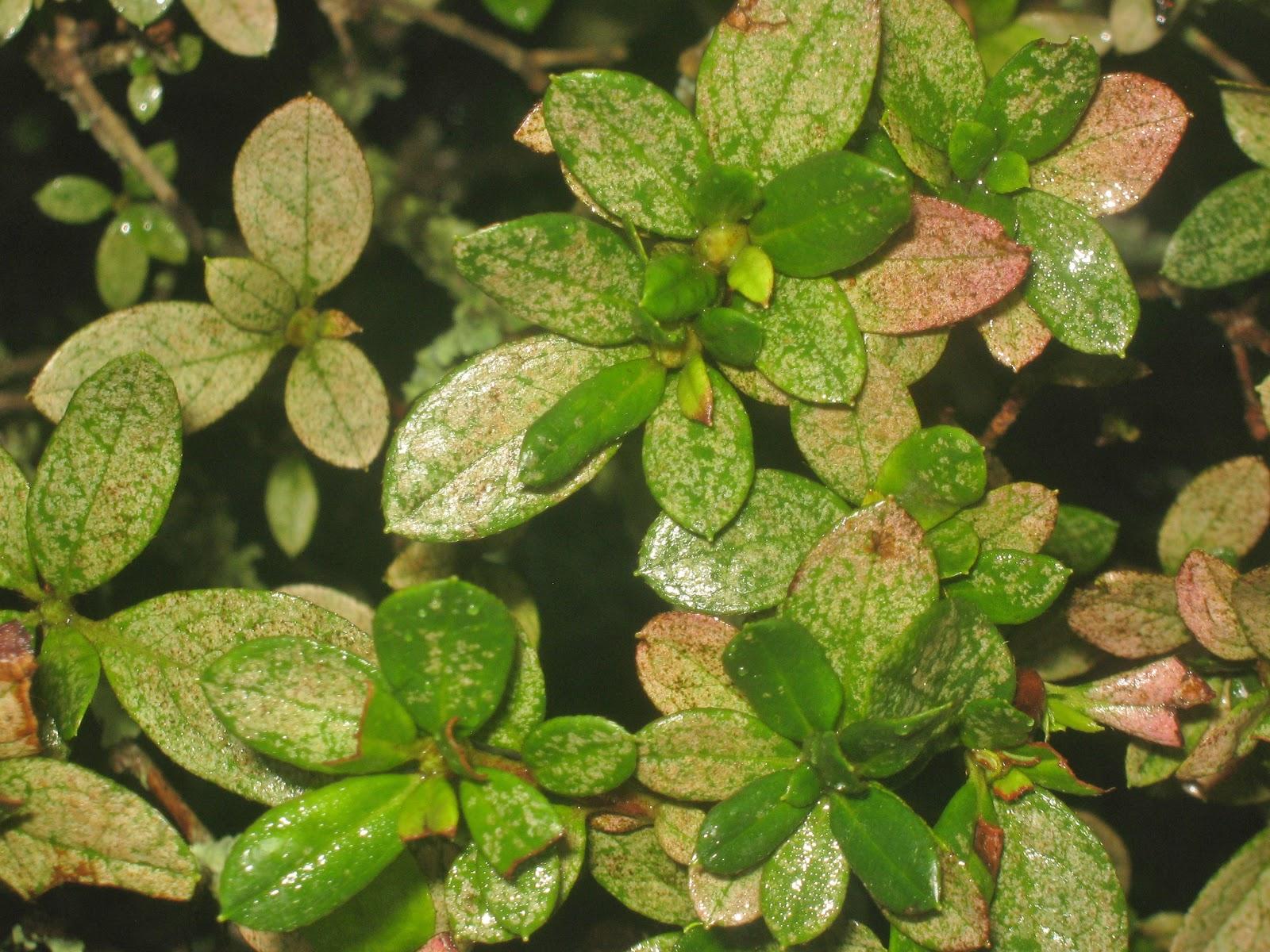 Lace Bug Damage | The Doctor's In! |Azalea Diseases