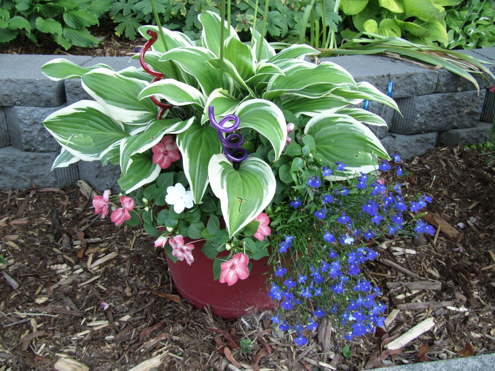 Cheesehead Gardening Hostas In Containers