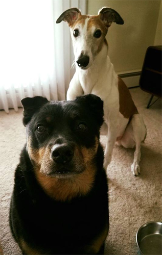 image of Dudley and Greyhound and Zelda the Black and Tan Mutt sitting in front of me, looking at me plaintively