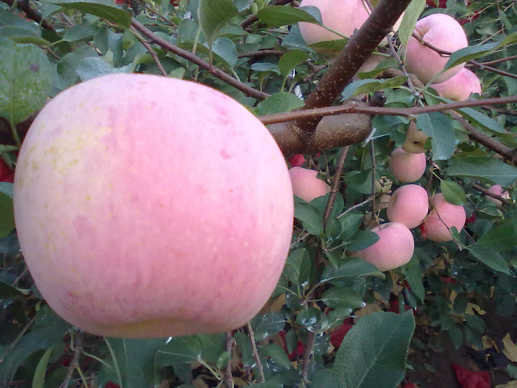 冬の寒さを物ともせず、見事に熟したリンゴ