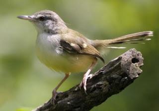 Daftar Harga Burung Ciblek Lengkap Semua Jenis Terbaru 2017, Harga Terbaru Burung Prenjak/Ciblek Mei 2017 di Pasar Burung, Harga Burung Ciblek Terbaru Maret 2017 - Vitamin Burung