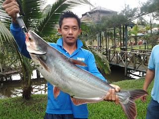 Umpan-Ikan-Patin-Kolam-Air-Tawar