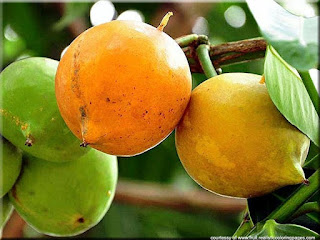 Mundu (Garcinia dulcis) fruit images