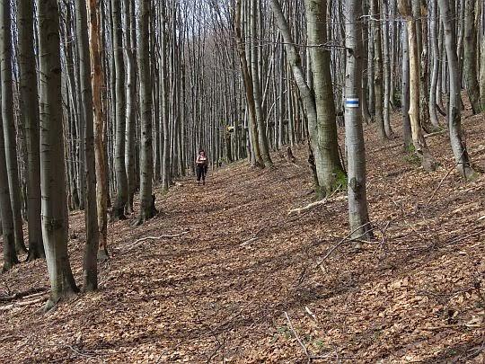 Bukowy las na stokach Wołosania.
