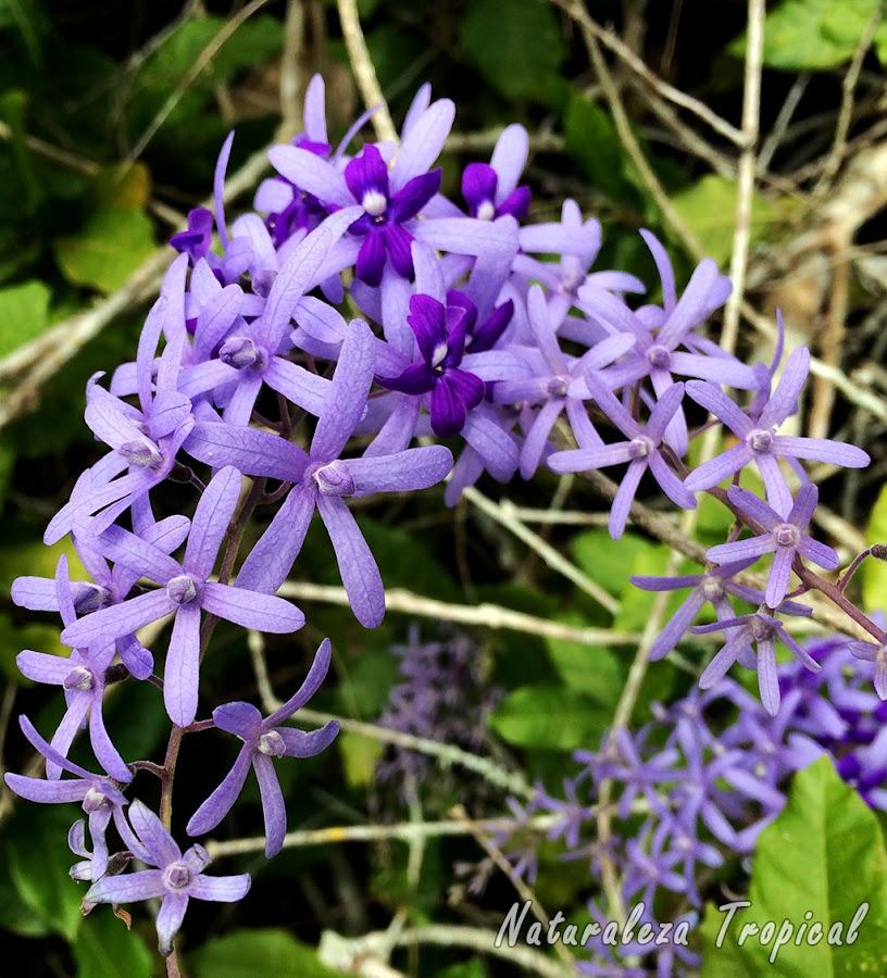 Flores características de arbusto trepador conocido como Machiguá, Petrea volubilis