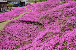 Alfombra rosa de flores.