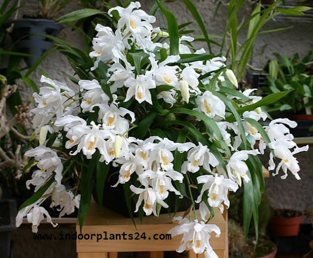 COELOGYNE CRISTATA indoor house plant image