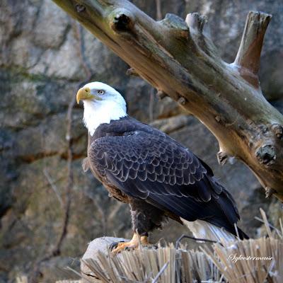 Bald Eagle Photo by Cynthia Sylvestermouse