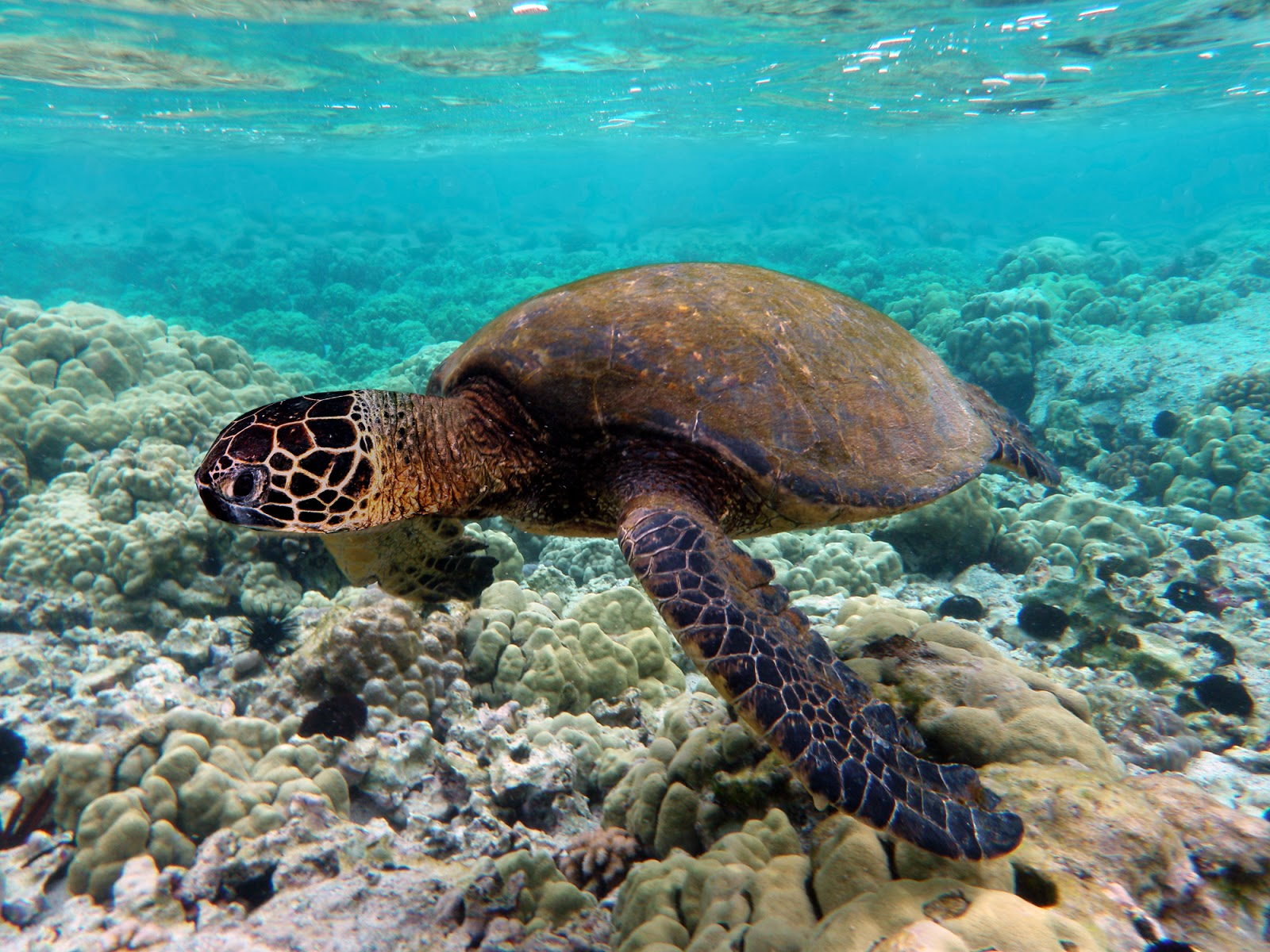 Reptiles: Green turtle swimming over coral reefs in Kona