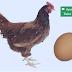 Ayam atau Telur?