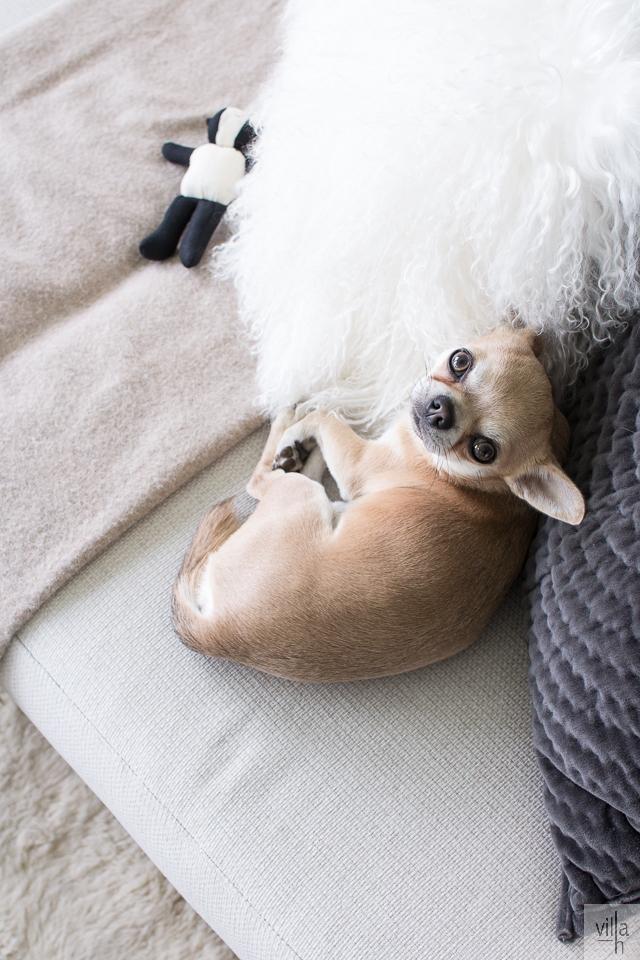chihuahua, villa h blogi, koira