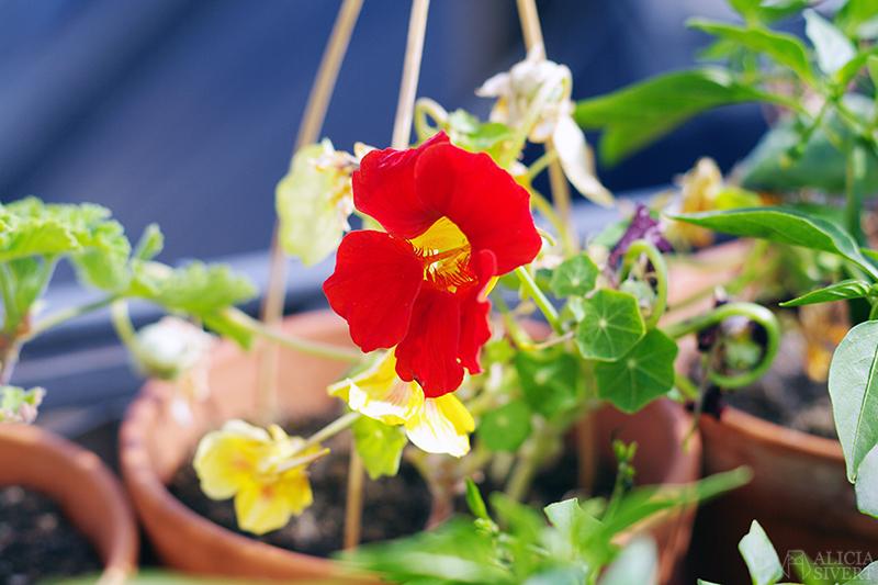 odla odling balkongodling på balkong balkongen i hink kruka krasse blomma blomning