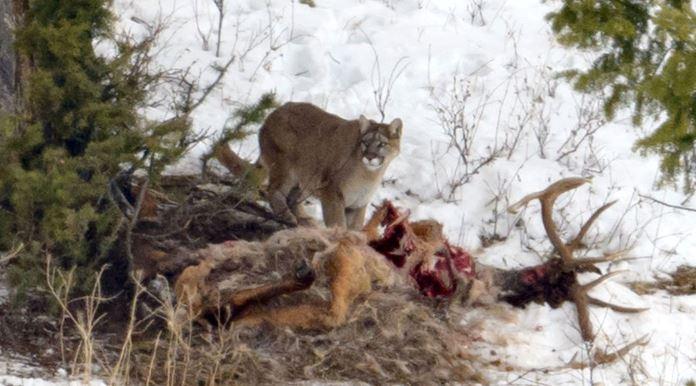 https://en.wikipedia.org/wiki/Cougar