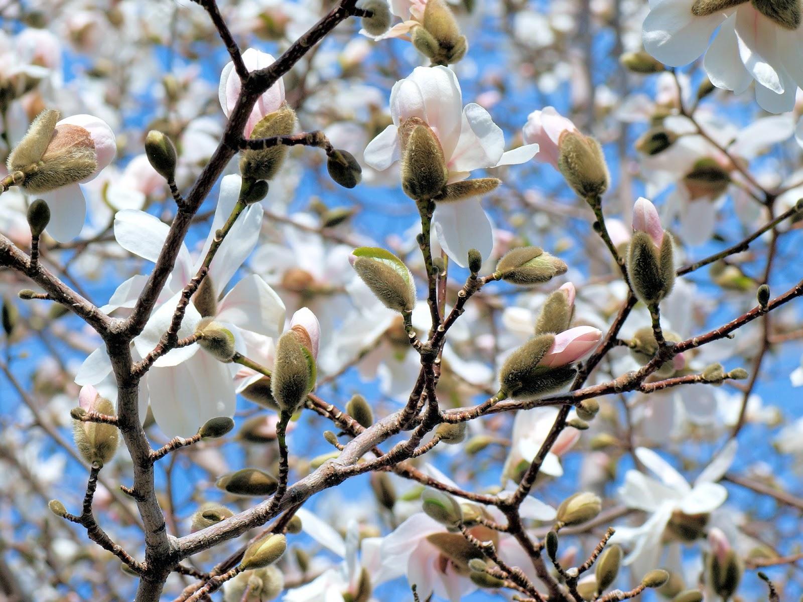 Garden Dream Magnolia Tree Propagation
