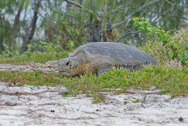 Heron Island Schildkröte Eier legen Turtle Insel Natur