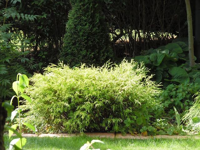 roślina iglasta