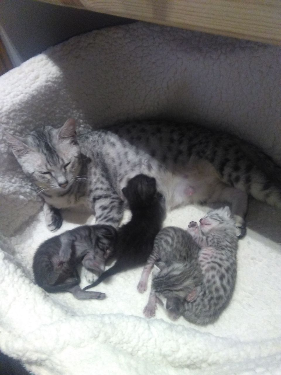 Kuwait Cats and kittens for sale Egyptian Mau Kittens Available