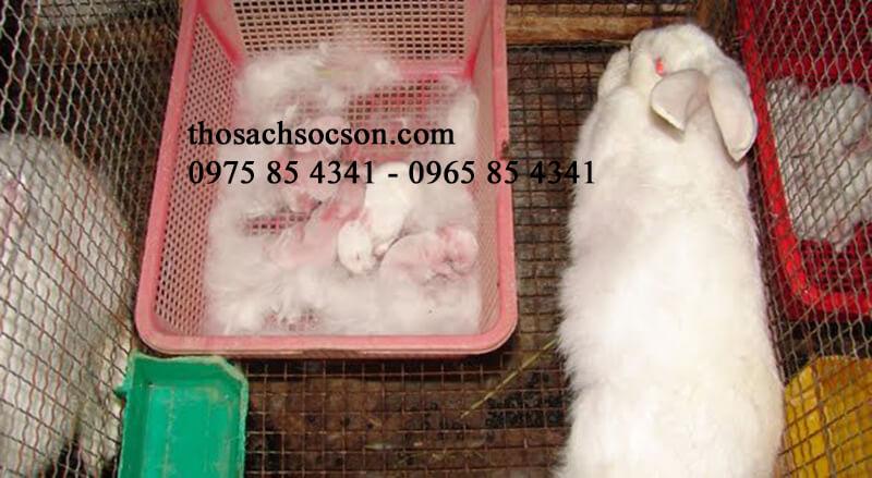 thỏ sinh sản không cho con bú