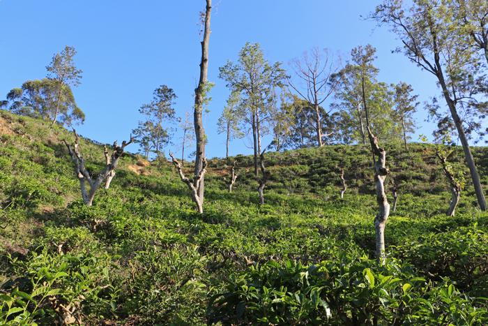 Teepflanzen in Ella
