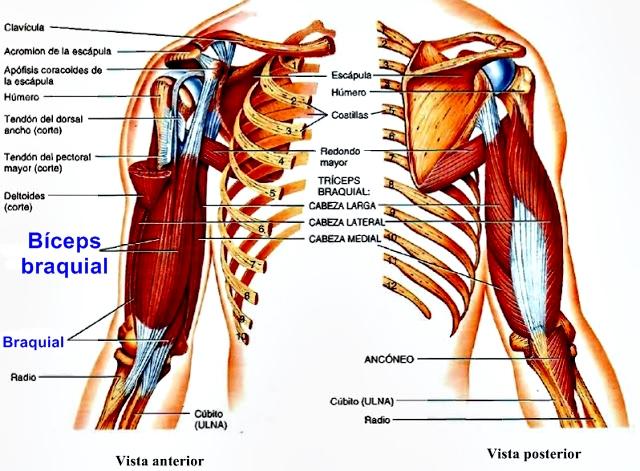 Conociendo los músculos de los brazos y del tronco
